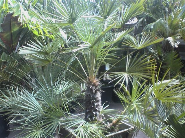 Brazilská palma Copernicia cerifera