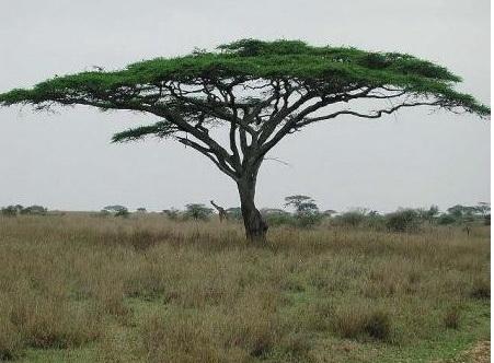 Foto stromu akácie