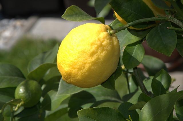 Foto citronu na stromku