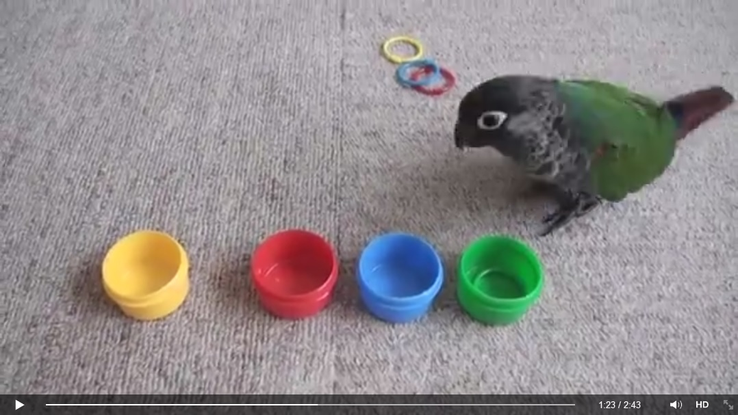 Papoušek dělá triky