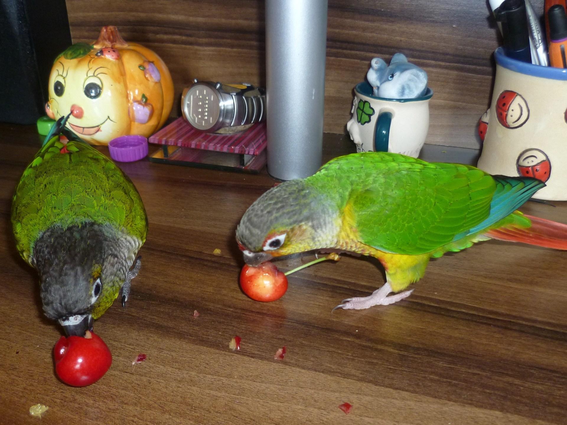 Pyrura, papoušek a ovoce