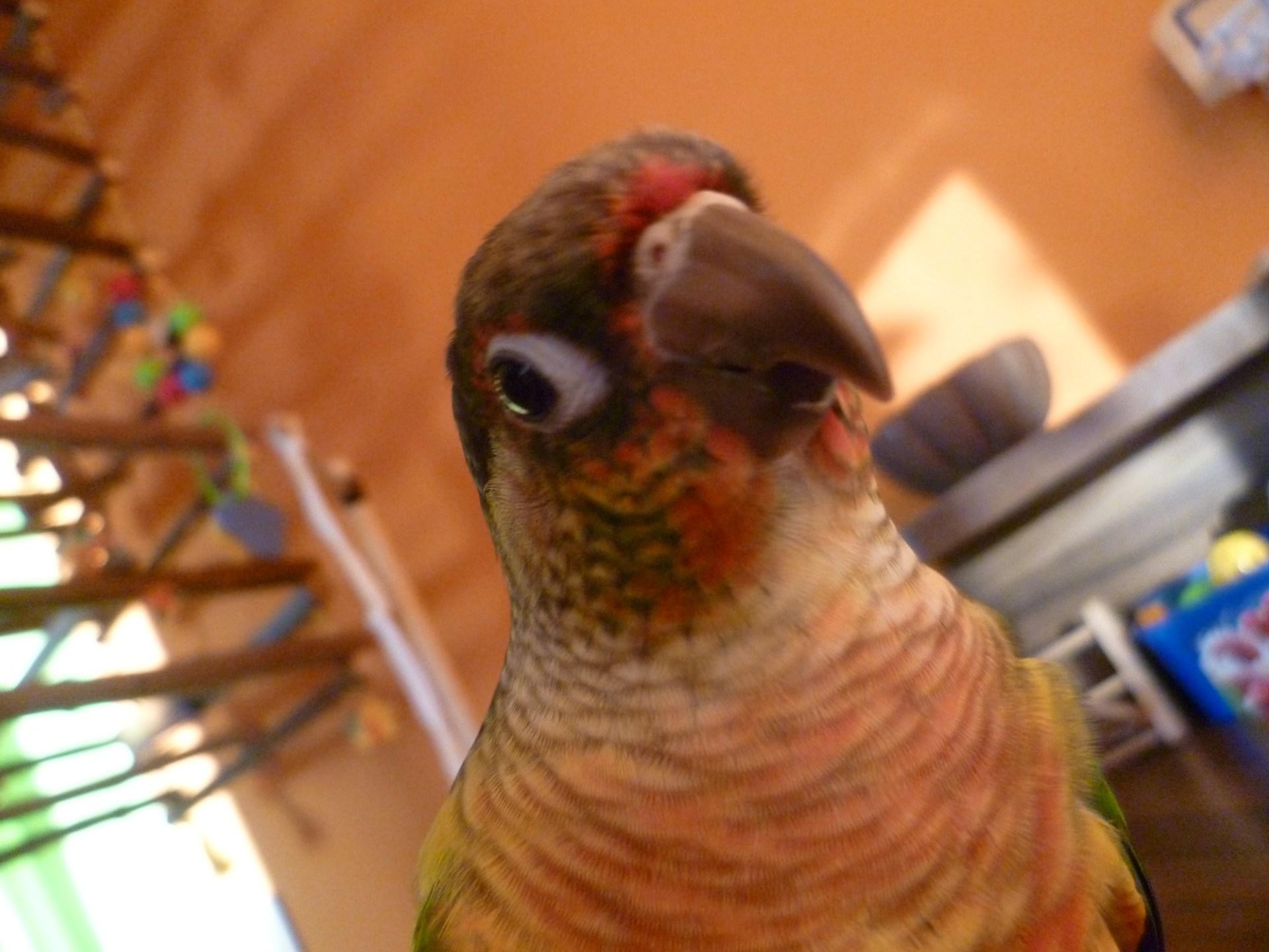 Зеленощёкий краснохвостый попугай